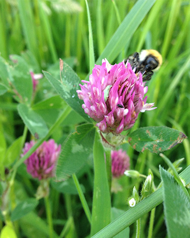 Organic bee on clover